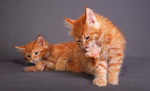 Mačka grize kremplje